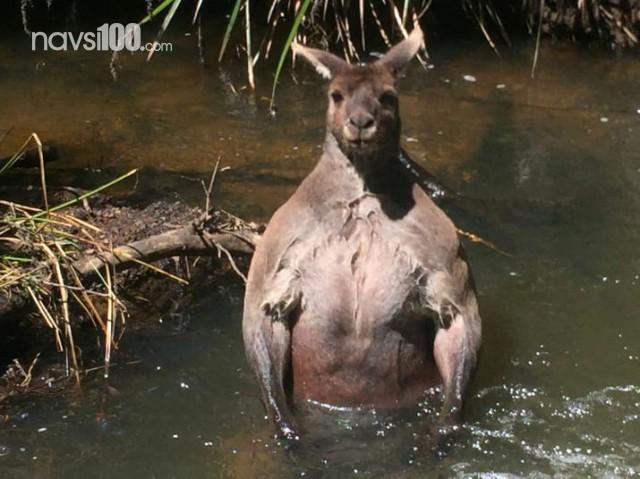В Австралии заметили кенгуру-любителя позировать, как голоторсый Путин